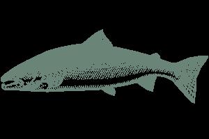 Salmon Charter